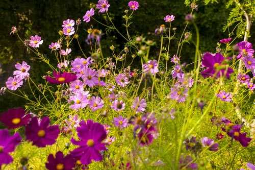 "Alt=""Pink and purple cosmos flowers"""