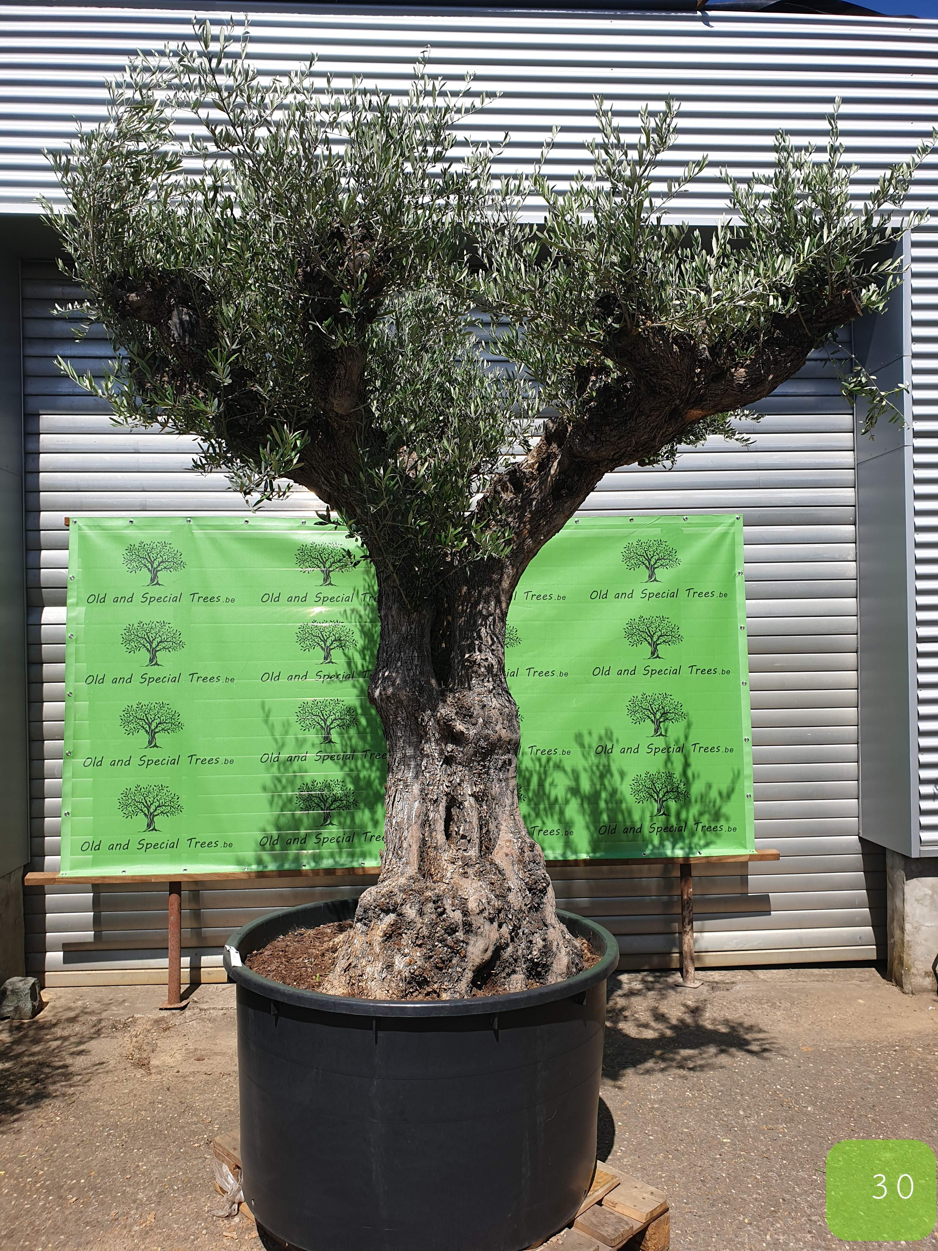 Olijfboom ibiza, old and special trees, olijfboom shop, olijfboomshop, olive tree, oliviers, olivier, olivos, olivo, finca de olivos, olijfboomexpert, olijfboomspecialist,