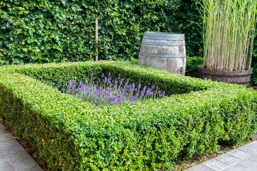 Buxus square low hedge garden with lavender