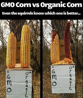GMO_vs_Organic_Cornjpg