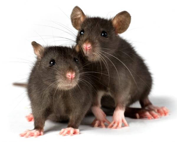 6 interesting Facts about Rats