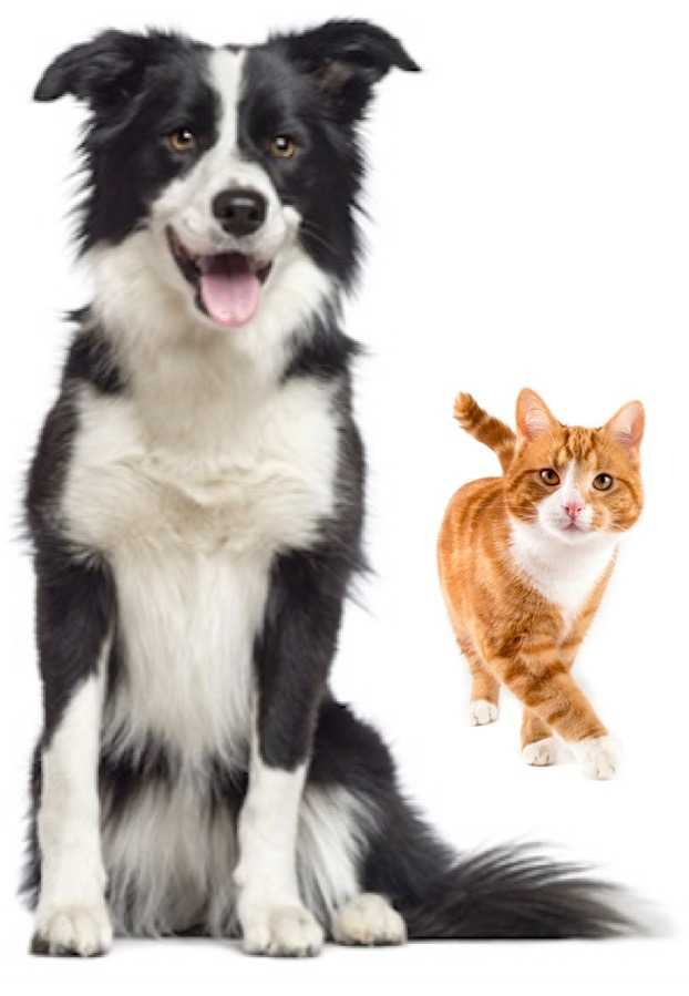 Black and white Border collie and a ginger tom