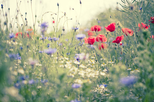 "Alt=""poppies and blue cuckoo flowers in meadow grass"""