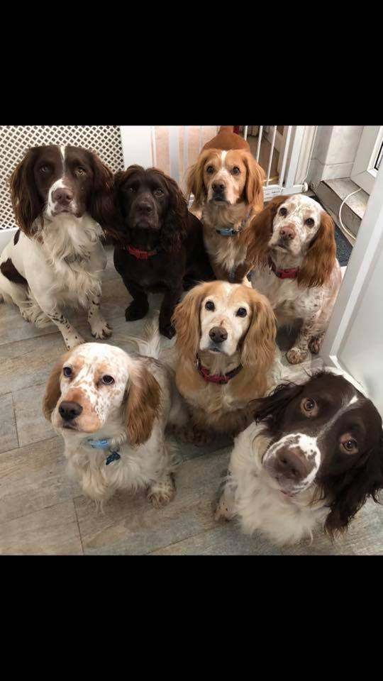 Spaniel Assist Rescue & Rehoming