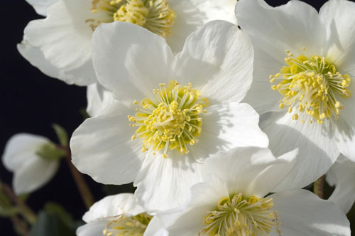 Helleborus Niger close up