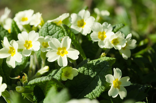 "Alt=""white primroses with yellow centres"