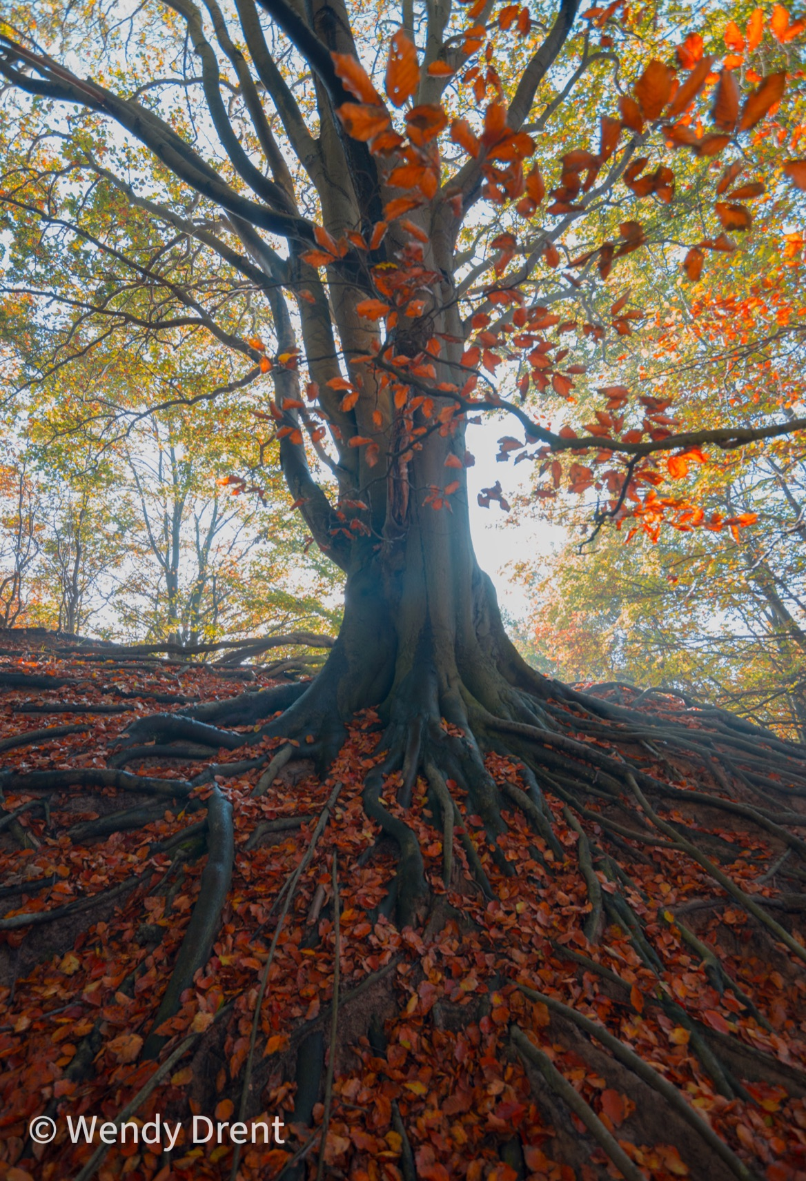 tree roots, tree, autumn, red leaves, wendy drent, landscape, nature, naturephotography, noord-holland, netherlands