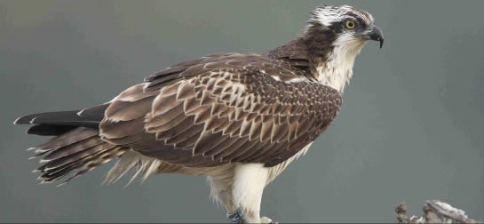 An osprey chick from the Threave Estate, Castle Douglas, pictured in Brittany, France