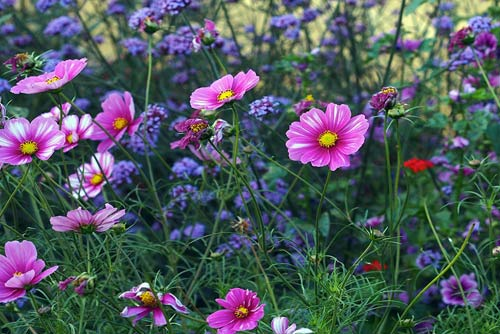 Late summer flowers cosmos and verbana