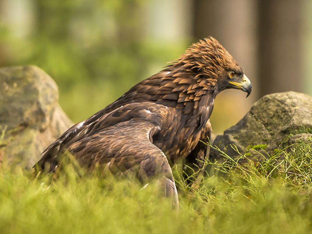 A Golden Eagle extends its wings in a ground embrace.