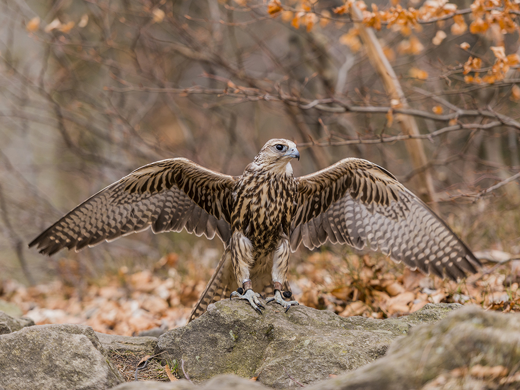 A Lanner Falcon extends its wings in a ground posture.