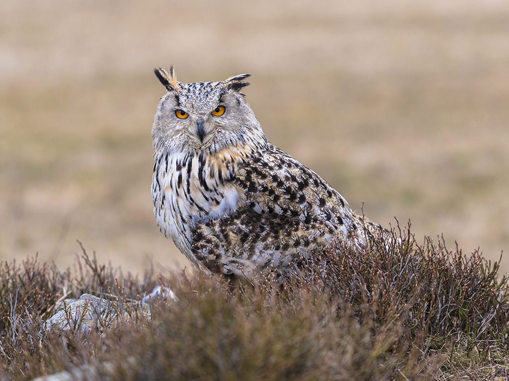 Western Siberian Eagle Owl poses on a heather clad rocky outcrop.