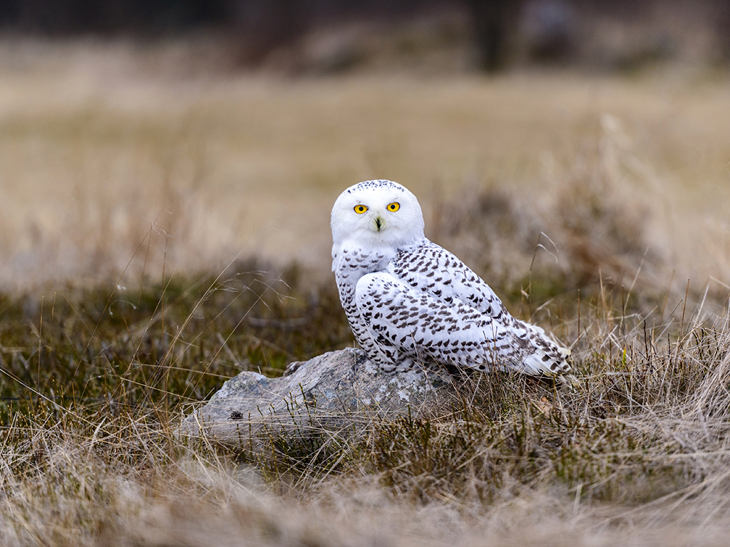 A Snowy  Owl poses on a heather clad rocky outcrop.
