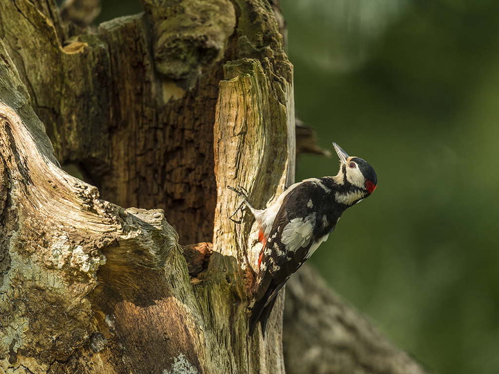 A Great Spotted Woodpecker looking magnificent, caught in an early morning sunbeam.