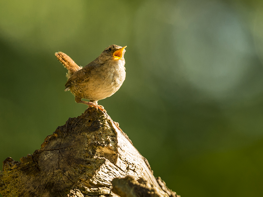 A beautiful Wren bursts in to song bathed in warm summer sunlight.