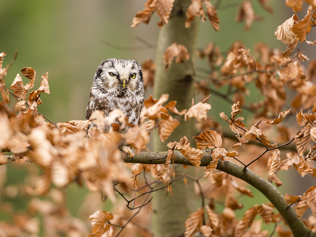 A beautiful Boreal Owl poses amongst the branch of a tree.