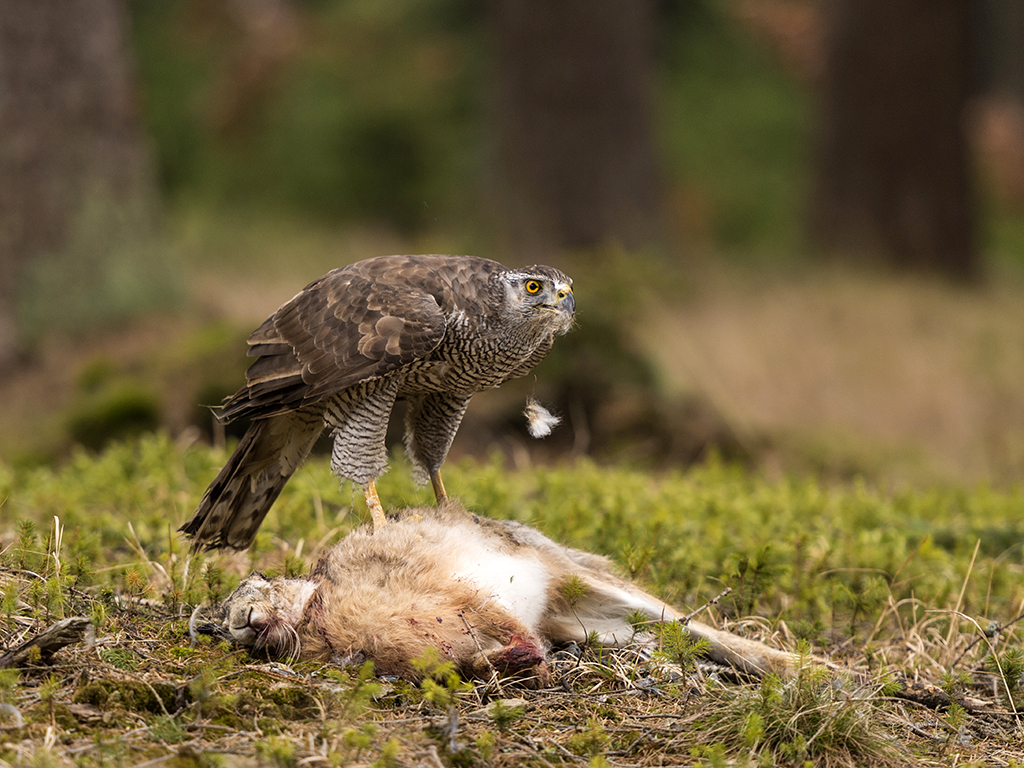 A Northern Goshawk feeding on a wild rabbit