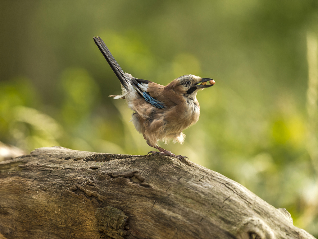 An Eurasian Jay displays nonchalantly having secured his prize.