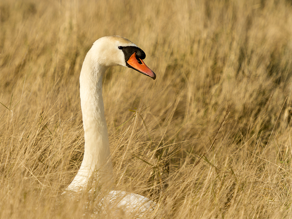 A female mute swan sits patiently on her nest waiting the return of the proud male.