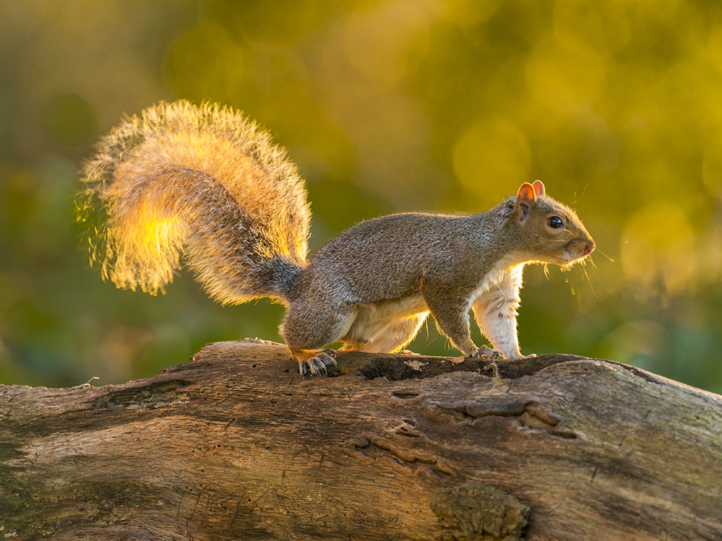 Eastern Gray Squirrel posturing on a wooden branch bathed in early evening sunlight.