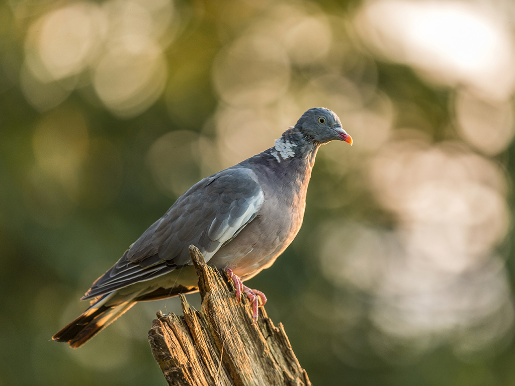 A wild pigeon perched on a dilapidated tree stump in a woodland setting.