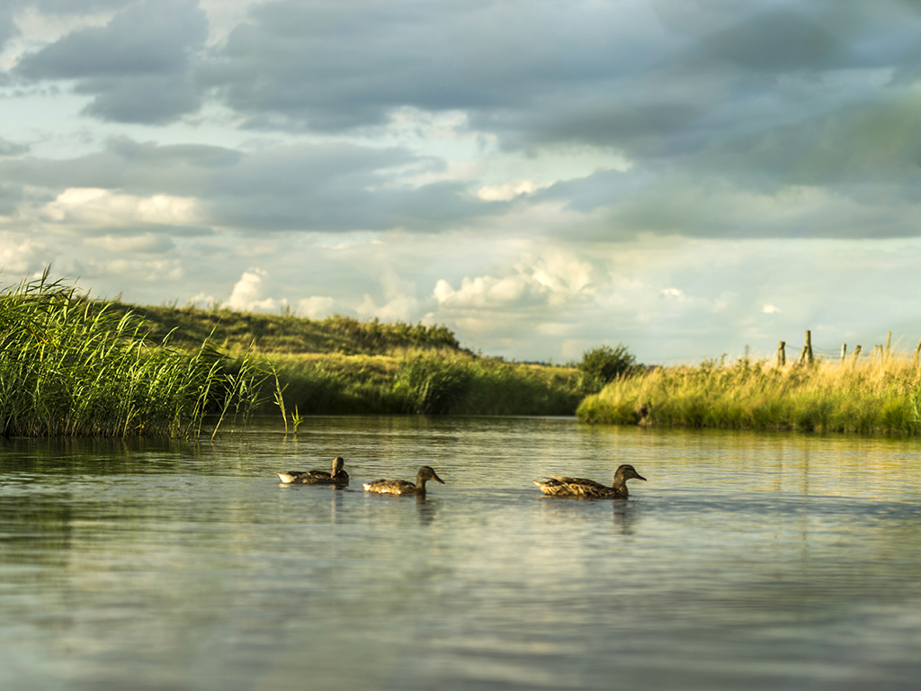 Three mallard wander across the pond as a spring storm gathers in the background.