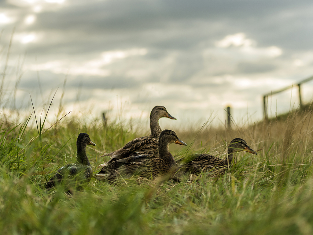 A group of juvenile mallard make their way across open grassland