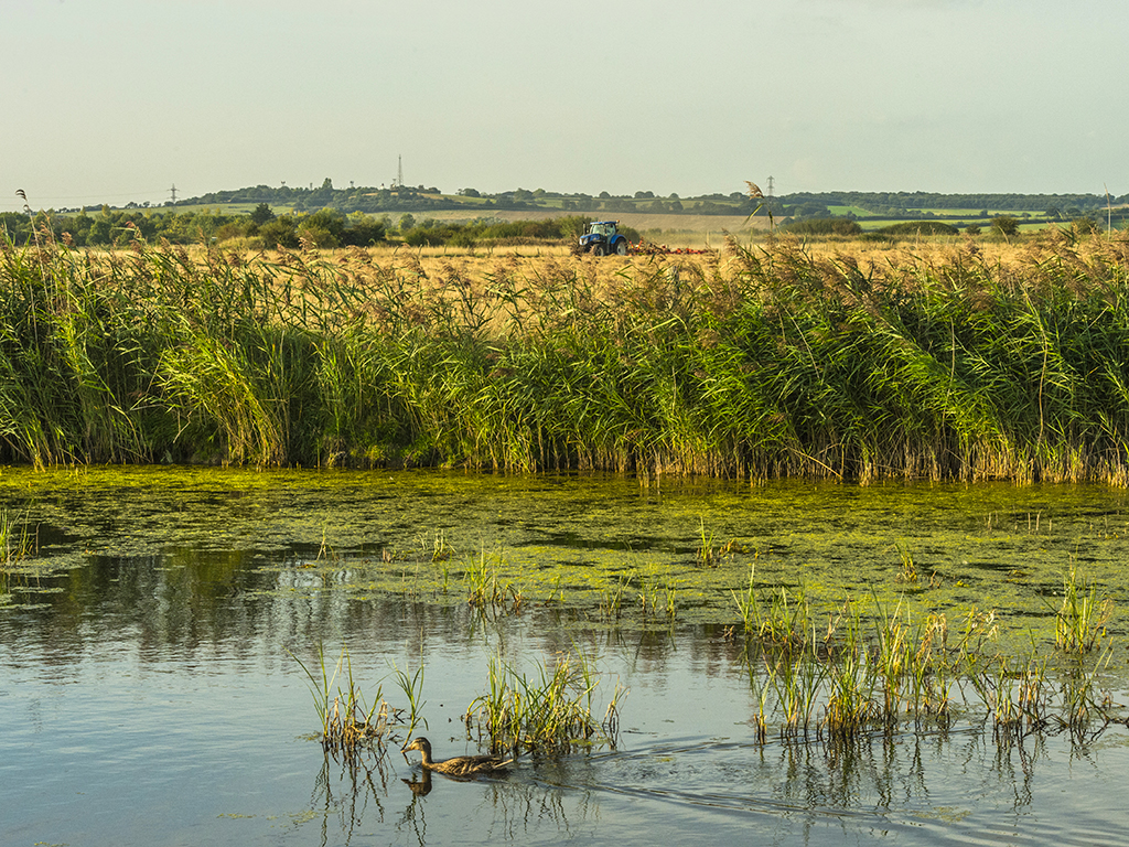 A mallard cruises along the river in the foreground whilst harvesting features in the background