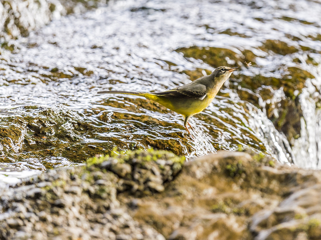 A yellow wagtails stretches out to catch a quick meal at the weir's edge.