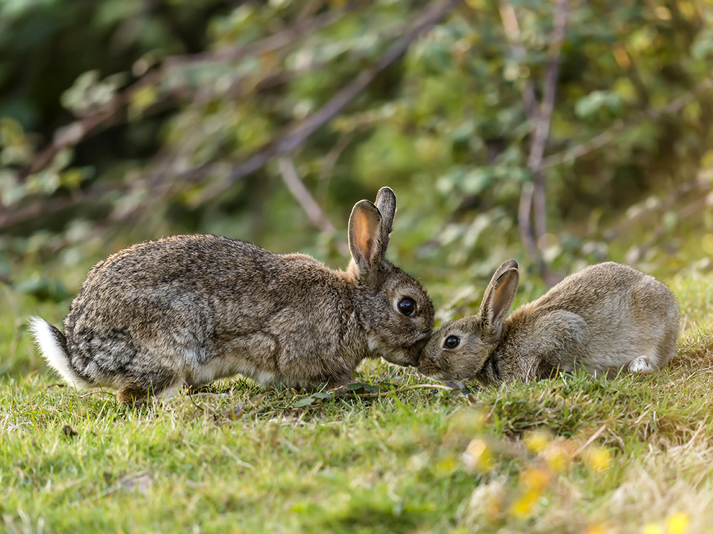 A wild female rabbit reassures its young leveret.