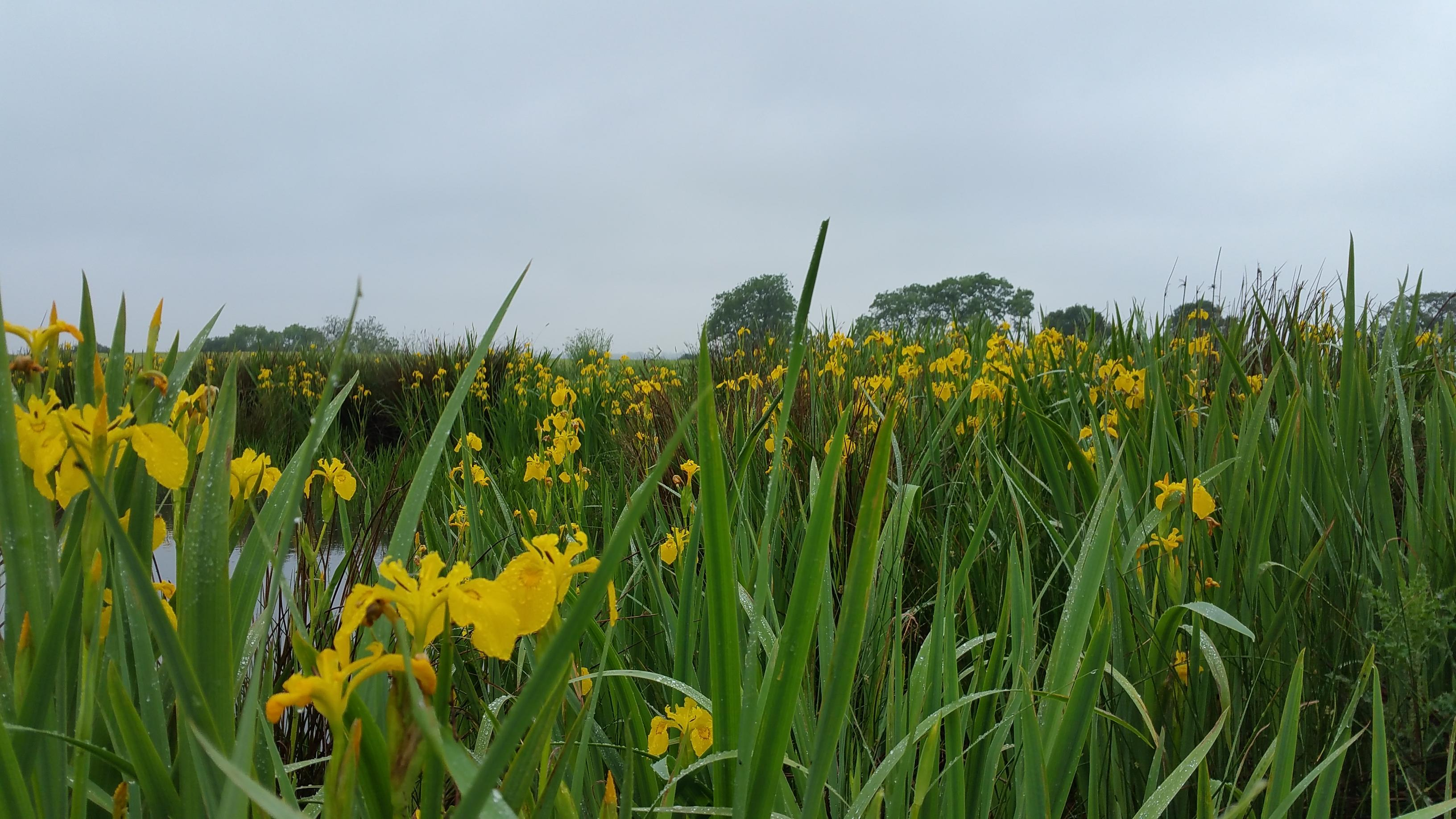 May at Fenns meadow with a stunning show of yellow irises.