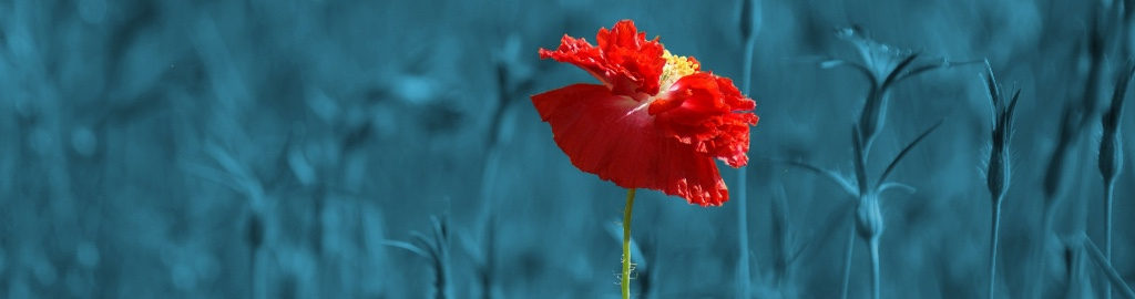 Image of a Red poppy in a blue field standing out in the crowd to showcase the work undertaken by Lynden Consulting Ltd, a strategic marketing and communications company founded by Edna Petzen that works with health and social care organisations to build their brand and manage reputation