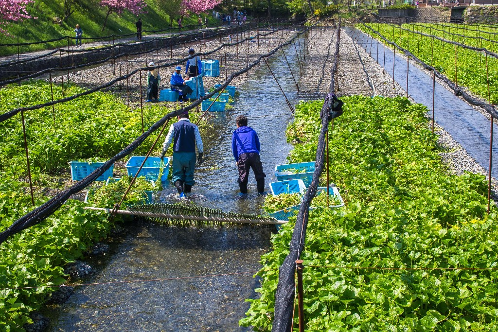 The Daiō Wasabi Farm was established in 1915 and located in Azumino, Nagano Prefecture near the centre of Honshū, the main island of Japan.  It is a popular tourist spot due to its beautiful watermills and the river that flows through it.