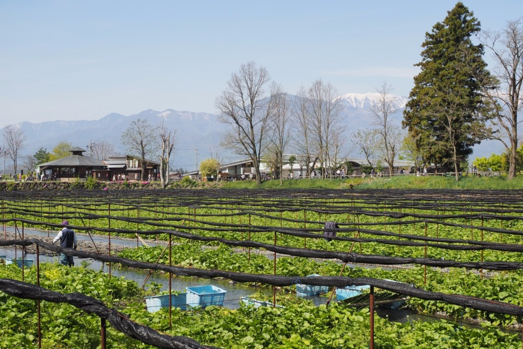 The Daiō is Japan's largest wasabi farm covering over 15 hectares. The natural water springs delivers 120,000 tons per day to produce over 150 tons of wasabi per year.