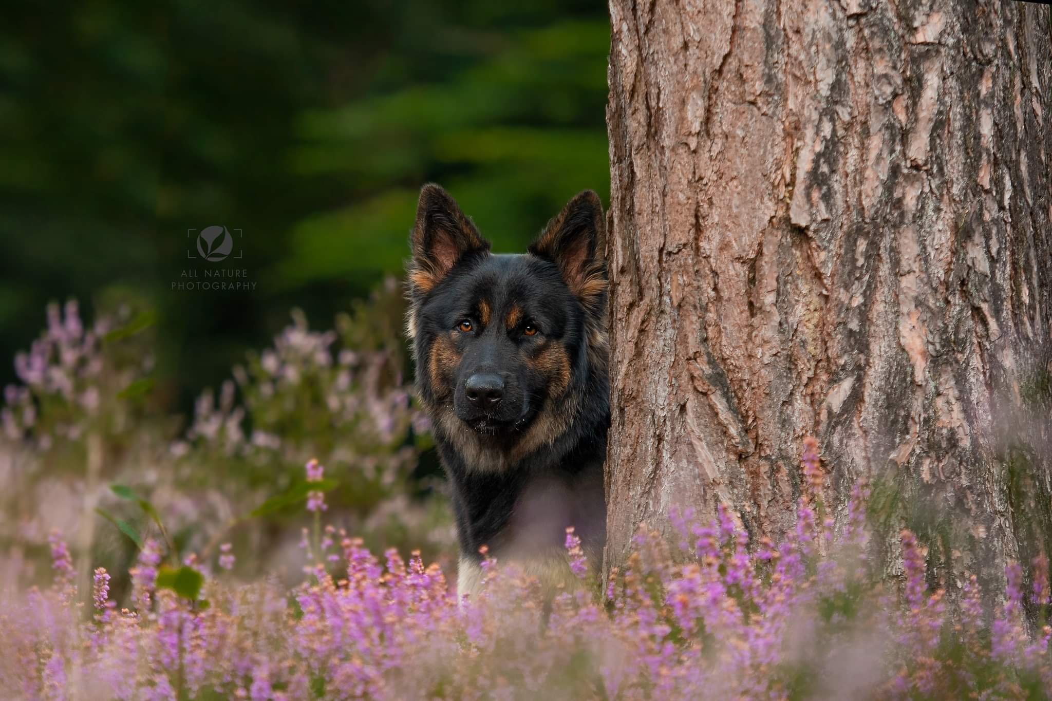 Viera du Fond des Aulnes ODH kennel  My Best Friend fokker Oudduitse Herders All Nature Photography