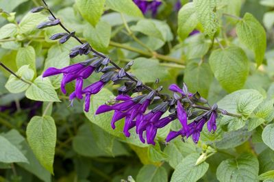 Salvia guaranitica 'Purple Majesty'