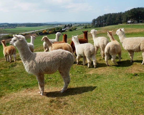 Some of the alpaca herd at East Challoch Farm holiday accommodation
