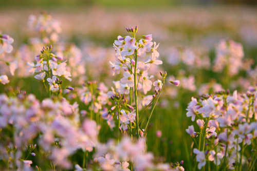 "Alt=""Field of Cuckoo Flower"""