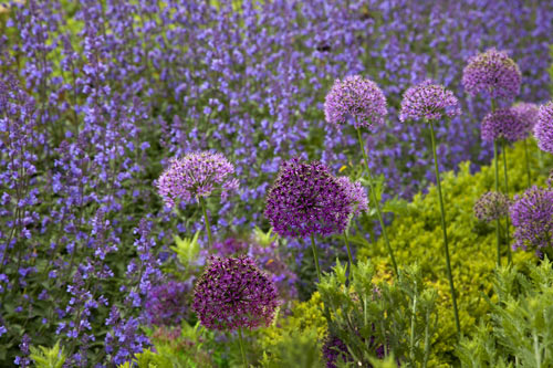 alliums, lavender and buxus