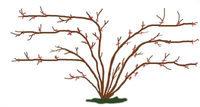 pruning climbing roses.jpg