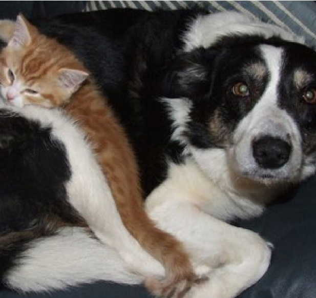 Ginger tom cat and tricolour Border Collie dog