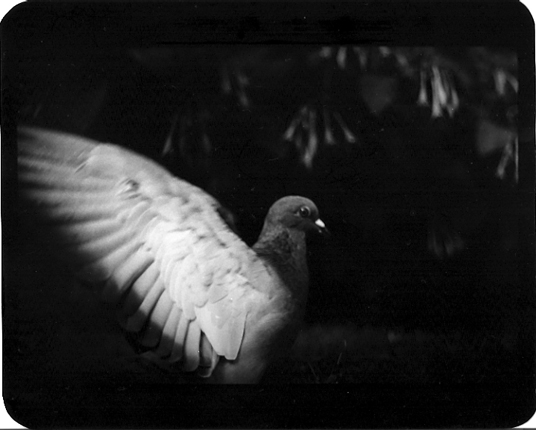 UNTITLED - PIGEON HYDE PARK  1/10