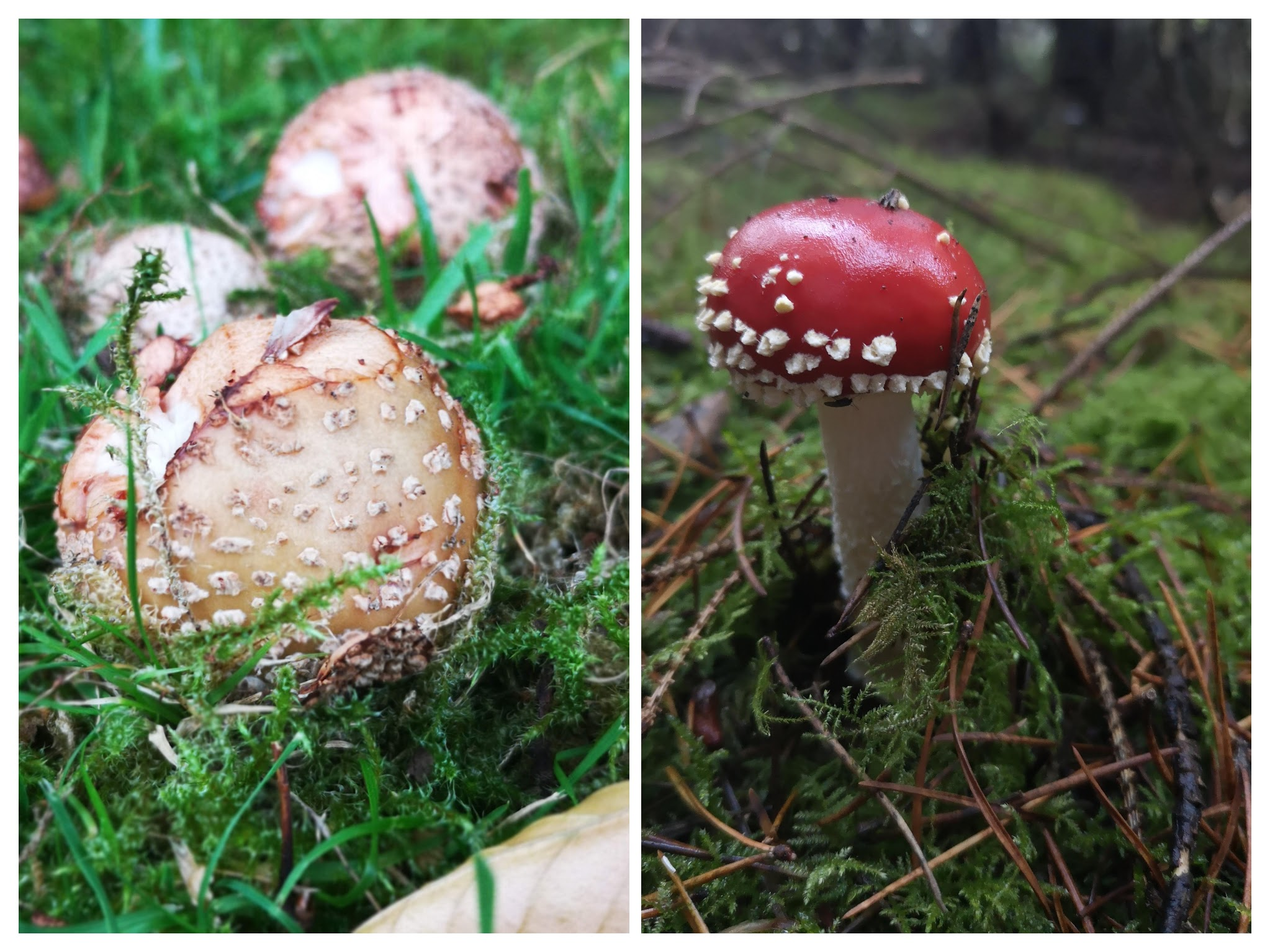 Blusher and fly agaric collagejpg