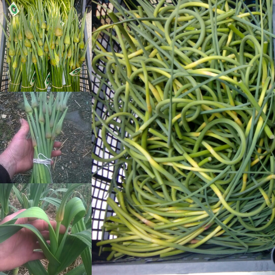 Fresh Garlic Scapes !  Coming soon , end April onwards