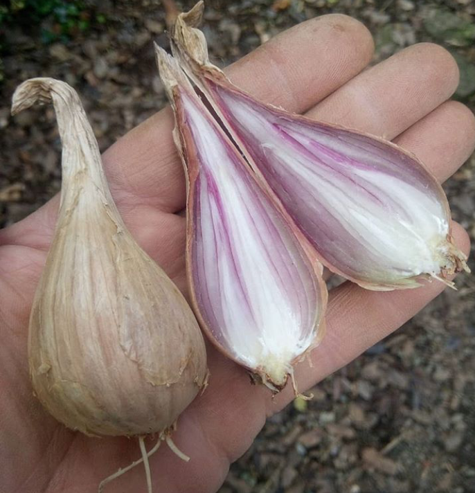 Griselle Shallots - heritage variety
