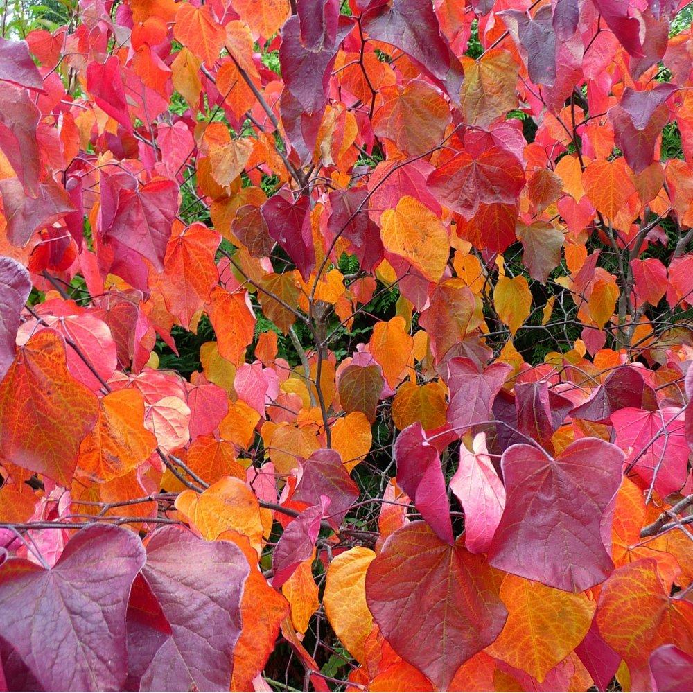 cercis autumn.jpg