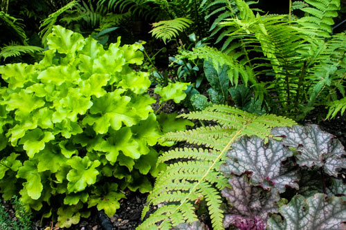Shade planting with bright heucheras and ferns