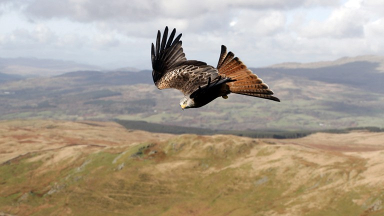 A red kite soaring over hills and moorland