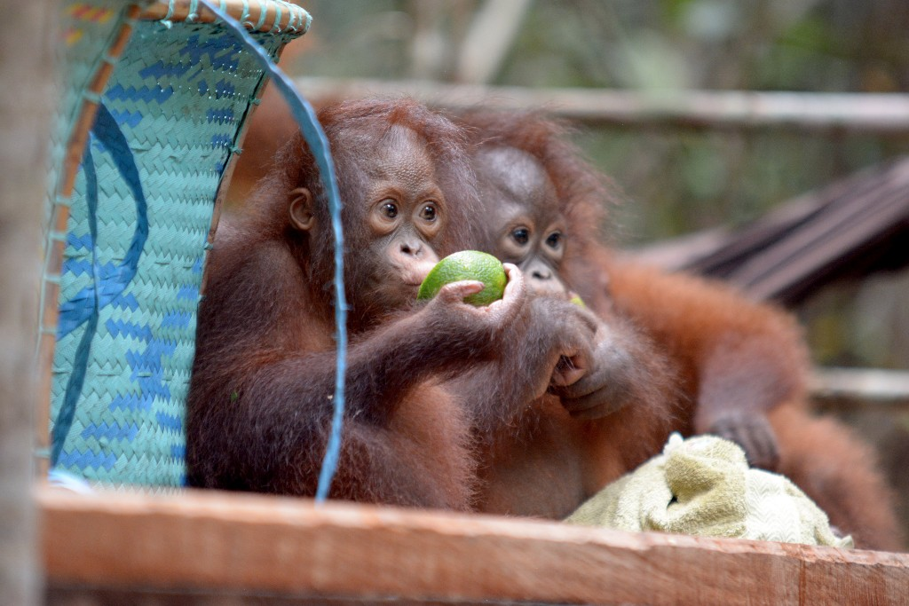 Orangutanger hotas av skogsbrander